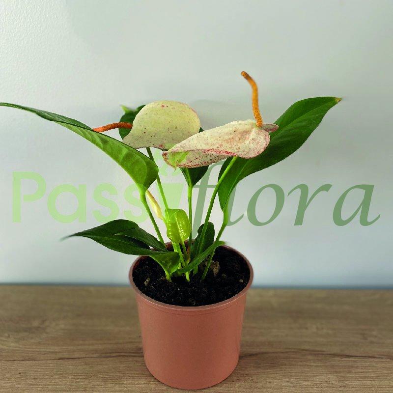 Anturio  Scherzerianum Blanco
