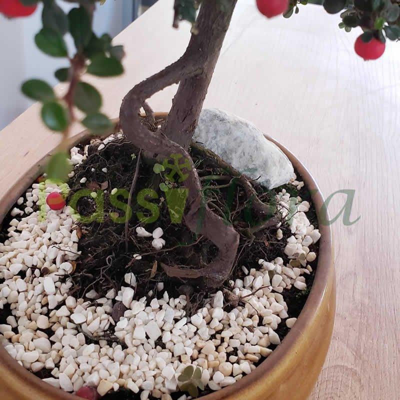 Bonsái Cotoneaster