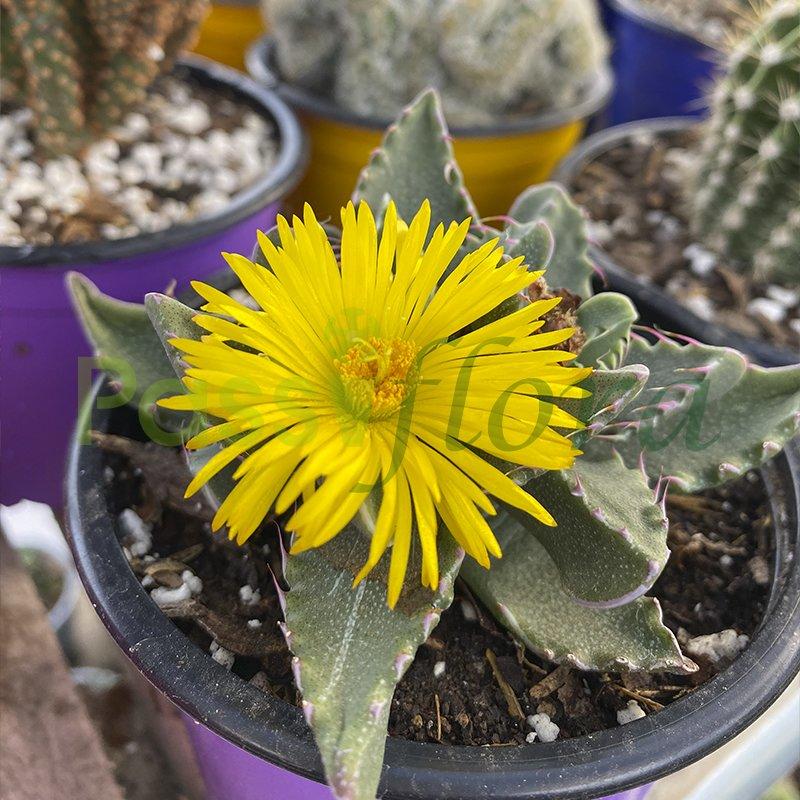 Cactus Faucaria